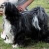 Tibeti terrier, a szerencsehozó kutya