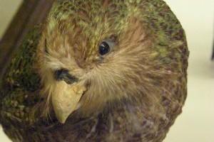 A kakapó (bagolypapagáj), kea és kaka- Új-Zéland veszélyeztetett papagájai