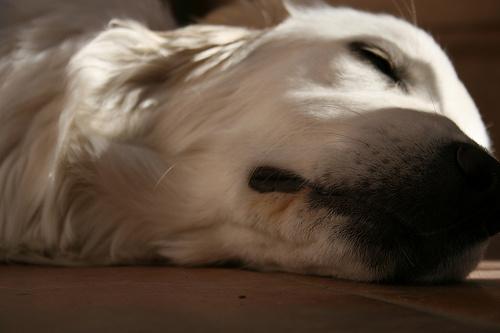 feher-kutya