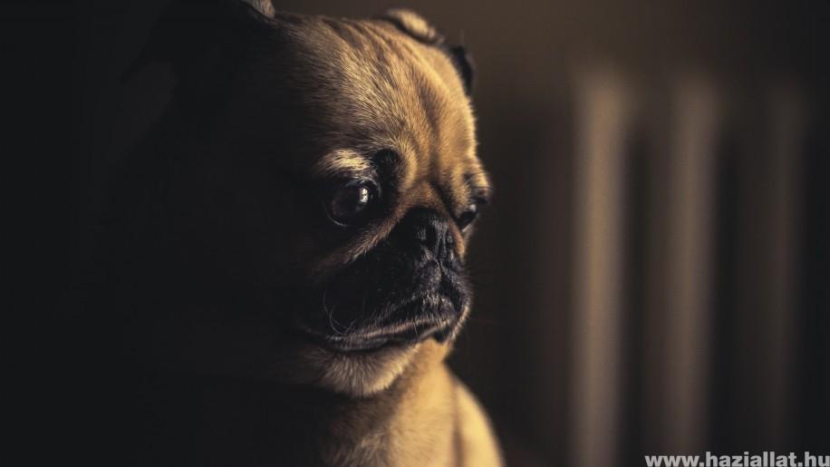Álvemhesség kutyáknál: hogyan ismerjük fel, mit tehetünk?