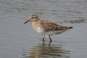 Új madárfaj a Hortobágyon
