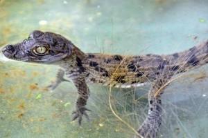 Kis krokodilok a Fővárosi Állatkertben