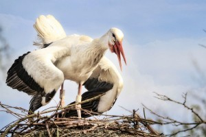 Eltévedt fehér gólyákat mészároltak le Máltán