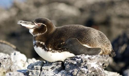galapagosz_pingvin