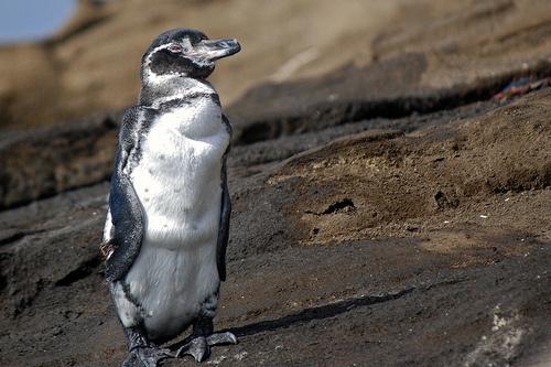 galapagoszi-pingvin