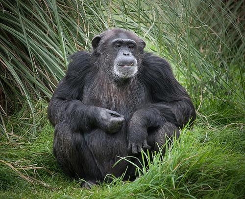 csimpánz a fűben