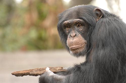 csimpanz-foto