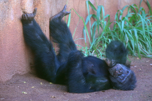 fekvo-csimpanz