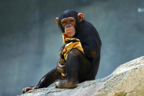 fiatal-csimpanz
