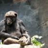 A csimpánznak is van öntudata?