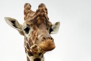 Miért olyan különleges állat a zsiráf? 10 lépésben bebizonyítjuk!
