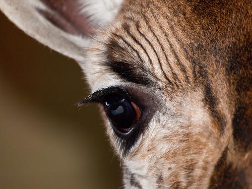 zsiraf-szeme