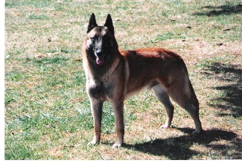 belga-juhasz-kutyafajta
