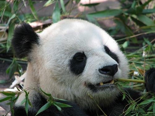 panda-maci-kep