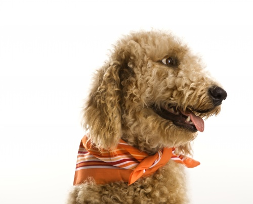 goldendoodle-kutya