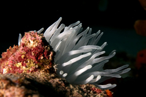 feher-anemona