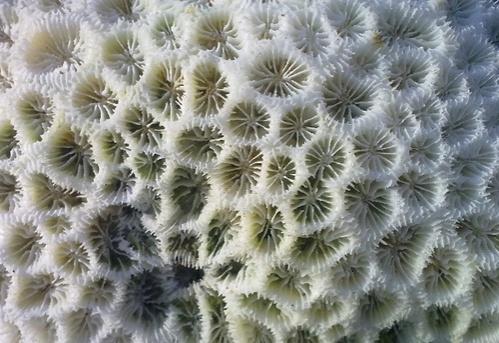 feher-korall