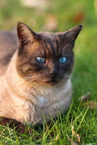 thai-macskafajta