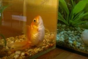 Mit tegyek, ha hasvízkóros az aranyhalam?