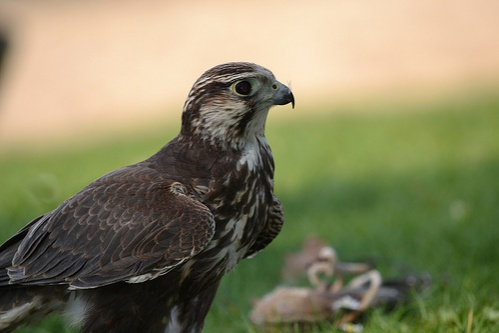 falco-cherrug