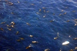 420 cetcápa (Rhincodon typus) hemzsegett a mexikói partok mentén