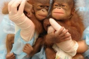 Orángután ikrek születtek a hongkongi állatkertben