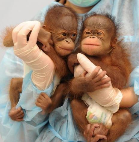 orangutan-ikrek