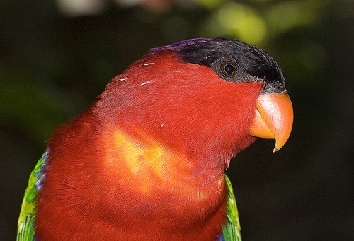 lori-papagaj