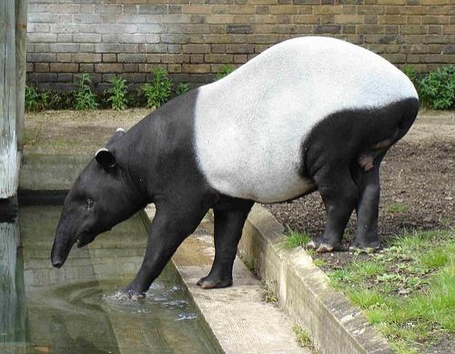 azsiai-tapir