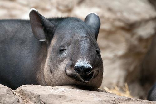 piheno-tapir
