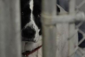 Láncon tartott kutyák, meggyalázott állatok