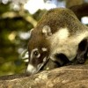Ormányosmedvék: a koáti (fehérorrú ormányosmedve)