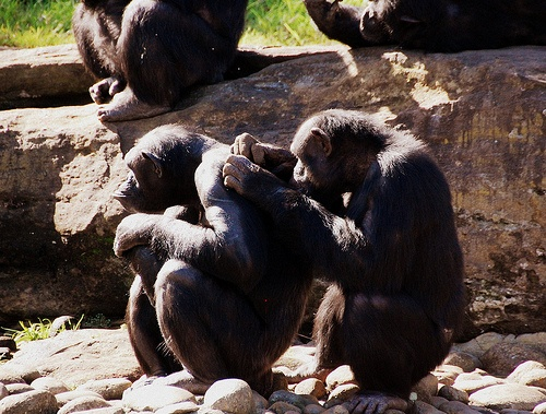 csimpanzok-majomok