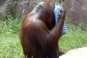 Vizes törölközővel hűsöl az orángután – vicces videó