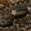 Megszületett az 1000. kígyó a kunpeszéri Rákosivipera-védelmi Központban