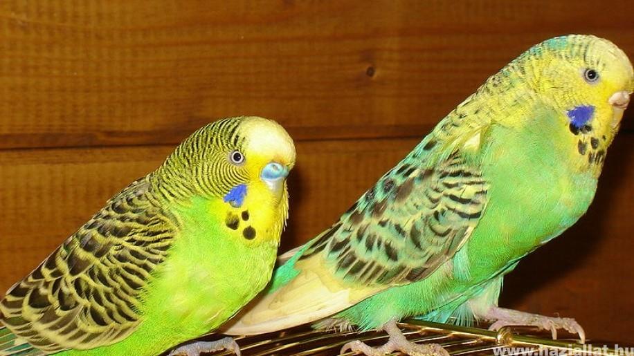 A hullámos papagáj csőrének leggyakoribb betegségei