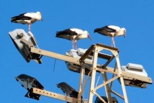 A három máltai gólya (fotó: Steve Miller)
