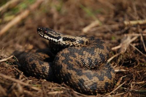 kígyó téli álom