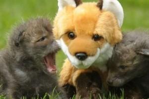 Plüss róka az árva rókakölykök mamája