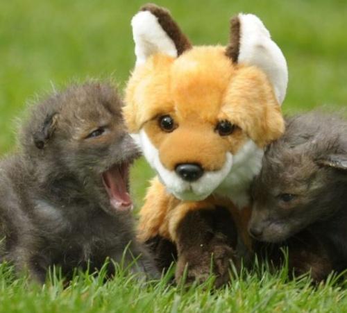 rókakölykök