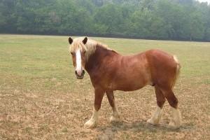Kasztrálás: Hogyan herélnek lovat a harcedzett állatorvosok? Videó