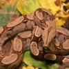Boa-kisokos: Milyen nemű példánnyal érdemes kezdeni a kígyótartást?