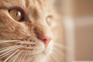 Miért nyávog némán a macska?