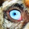 Louisiana Catahoula Leopárd – a démoni tekintetű kutyafajta