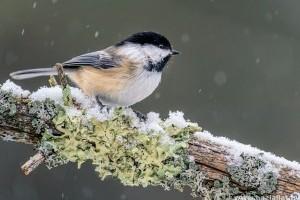 Téli madáretetés: cinkegolyó alternatívák házilag