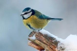 Vörös riasztás - a kemény fagyokban kritikus kérdés az itthon telelő madarak segítése!