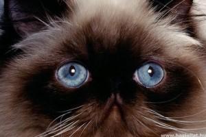 Hányféle macskafajta van?