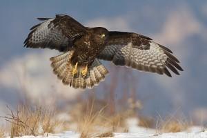 Védett marad az év madara