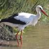 A fehér gólyák hamarosan hazatérnek