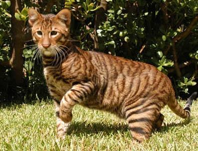 toyger_cat